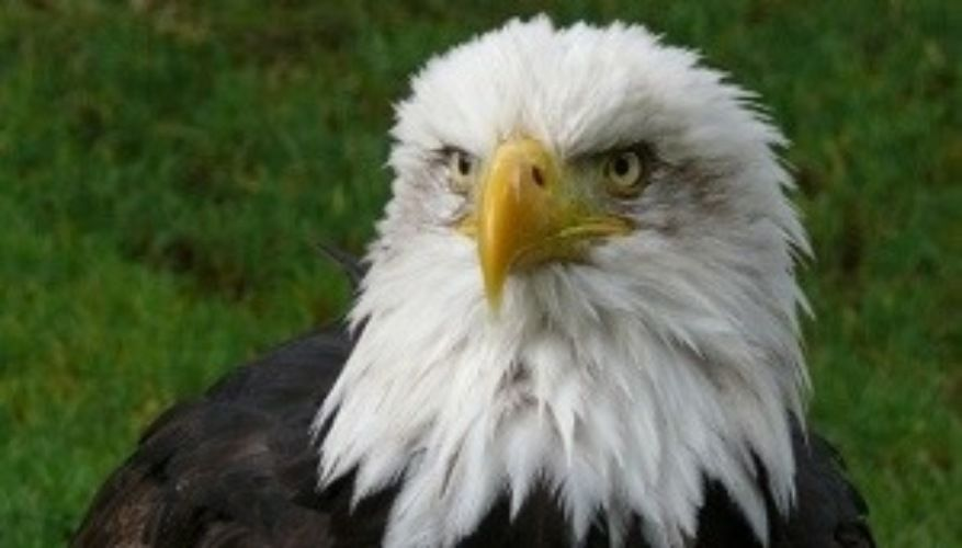 The Eagle is out of the Cage!